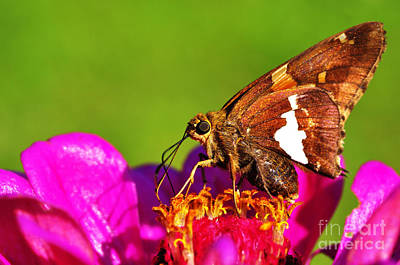 Silver-spotted Skipper Poster by Thomas R Fletcher