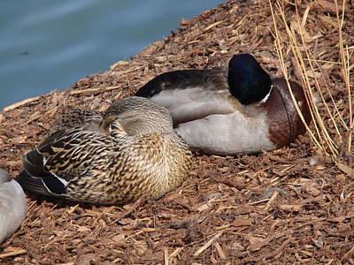 Sleeping Ducks Poster by Valia Bradshaw
