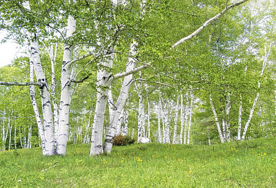 Spring Birches Poster