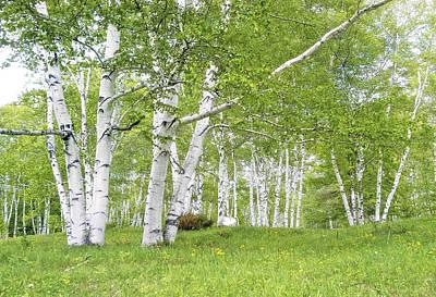Spring Birches Poster by Gordon Ripley
