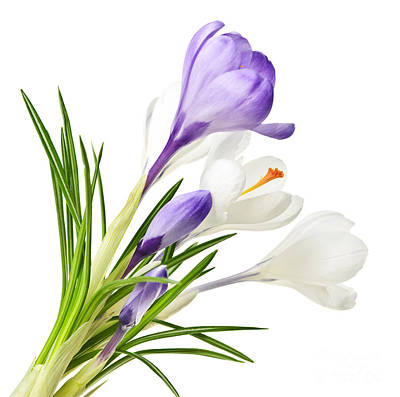 Spring Crocus Flowers Poster by Elena Elisseeva
