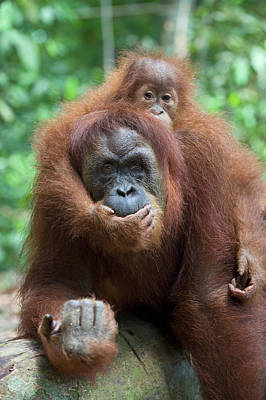 Sumatran Orangutan Pongo Abelii Mother Poster
