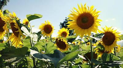 Sunflowers Poster by Falko Follert