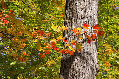 Sunlit Maple Leaves In Autumn Poster by Louise Heusinkveld