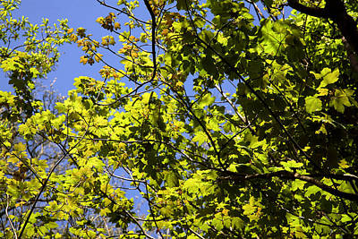 Sycamore Leaves (acer Pseudoplatanus) Poster by Dr Keith Wheeler