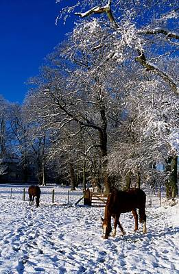Thoroughbred Horses, Mares In Snow Poster by The Irish Image Collection