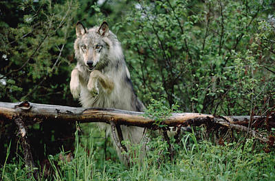 Timber Wolf Leaping Over Fallen Log Poster by Tim Fitzharris