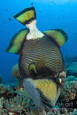 Titan Triggerfish Picking At Coral Poster