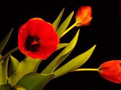Tulip Arrangement 2 Poster by Peter Mooyman
