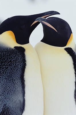 Two Emperor Penguins (aptenodytes Forsteri) In Courtship Display Poster