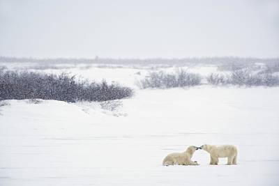 Two Polar Bears Ursus Maritimus Showing Poster by Richard Wear