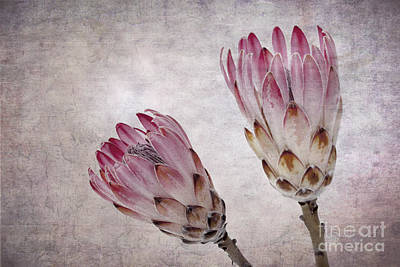 Vintage Proteas Poster by Jane Rix