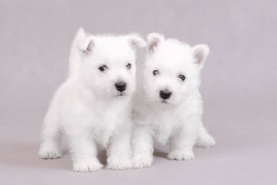West Highland White Terrier Puppies Poster