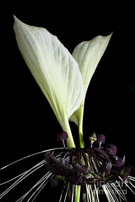 White Bat Plant Poster by Johan Larson