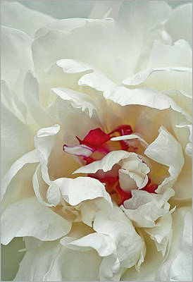 Poster featuring the photograph White Peony by Gordon Ripley