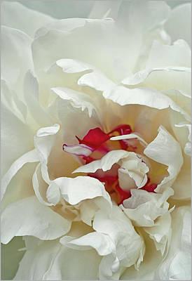 White Peony Poster by Gordon Ripley