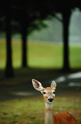 White-tailed Deer Odocoileus Poster