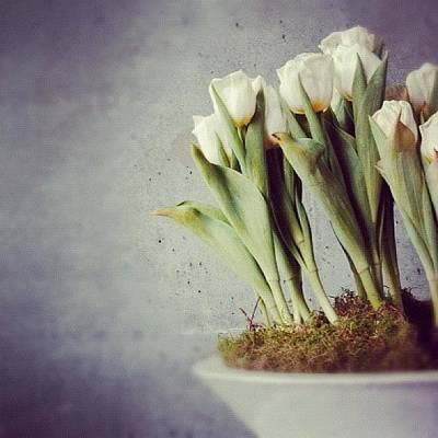 White Tulips In Bowl - Gray Concrete Wall Poster