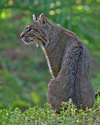 Wild Bobcat Poster by Larry Linton