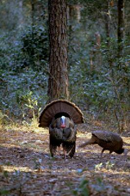 Wild Turkey Strutting Poster