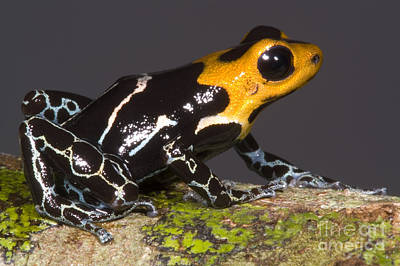 Crowned Poison Frog Poster