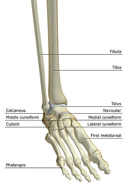 The Bones Of The Foot Poster by MedicalRF.com