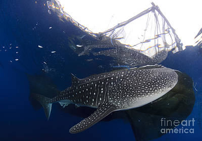 Whale Shark Feeding Under Fishing Poster by Steve Jones