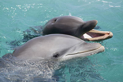 Atlantic Bottlenose Dolphins Poster
