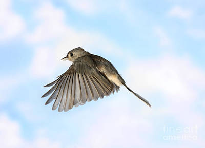 Tufted Titmouse In Flight Poster