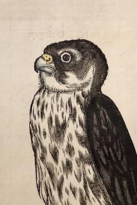 1560 Gesner Merlin Falcon Bird Of Prey Poster by Paul D Stewart