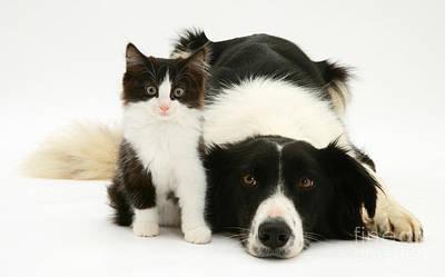 Border Collie And Kitten Poster by Jane Burton