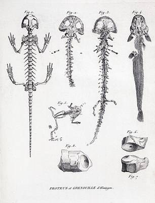 1812 Cuvier On Scheuchzer's Flood Victim Poster by Paul D Stewart