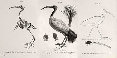 1812 Egyptian Ibis & Cuviers Evolution Poster