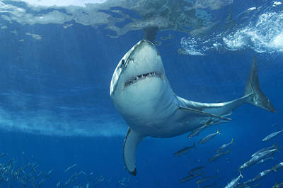 A Great White Shark Swims In Clear Poster