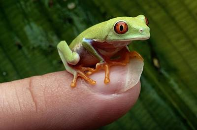 A Red-eyed Tree Frog Agalychnis Poster by George Grall