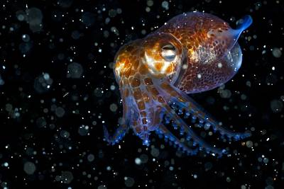 Atlantic Bobtail Squid Poster