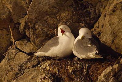 Black-legged Kittiwake Gulls Nest On An Poster by Gordon Wiltsie