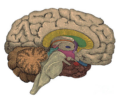 Brain Cross-section Poster by Science Source