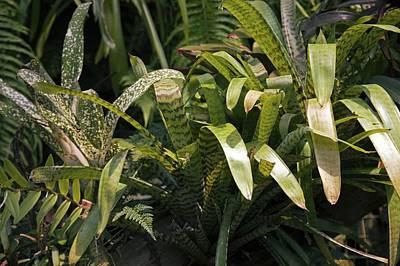 Bromeliad Plant Poster