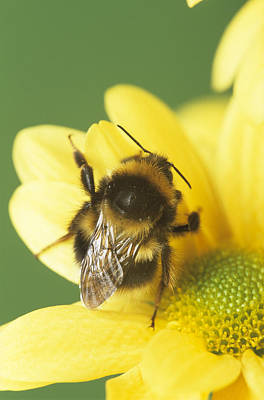 Bumble Bee Pollinating A Flower Poster by David Aubrey