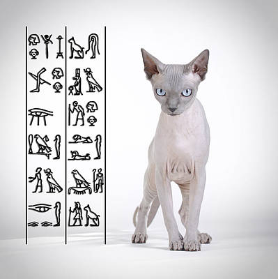 Canadian Sphynx Cat Poster by Waldek Dabrowski