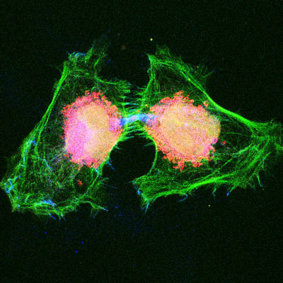 Cell Division, Light Micrograph Poster