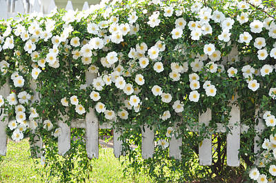 Cherokee Roses Poster by Jan Amiss Photography