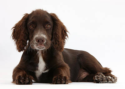 Chocolate Cocker Spaniel Poster by Mark Taylor