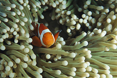 Clown Anemonefish In Sea Anemone Poster by Joe Stancampiano