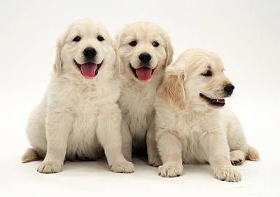 Golden Retriever Puppies Poster by Jane Burton