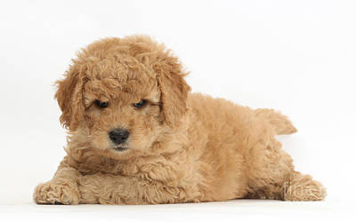 Goldendoodle Puppies Poster