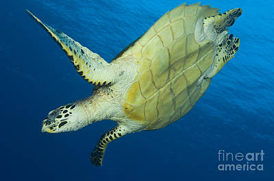 Hawksbill Turtle In The Diving Poster by Steve Jones