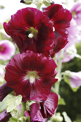 Hollyhock (alcea Rosea) Poster by Dr Keith Wheeler