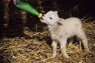 Lamb Poster by David Aubrey